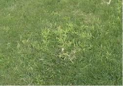 crabgrass cancer